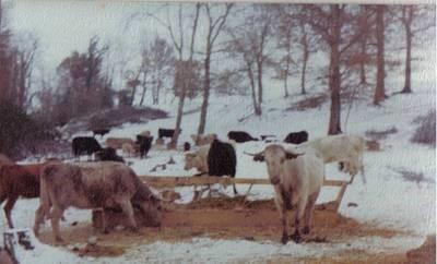 vaches_1985_pussacq